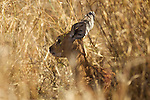 Raphicère champêtre Steenbok, (Raphicerus campestris)