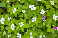 Dwarf dogwood in summertime bloom in a boreal forest in Fairbanks, Interior, Alaska.