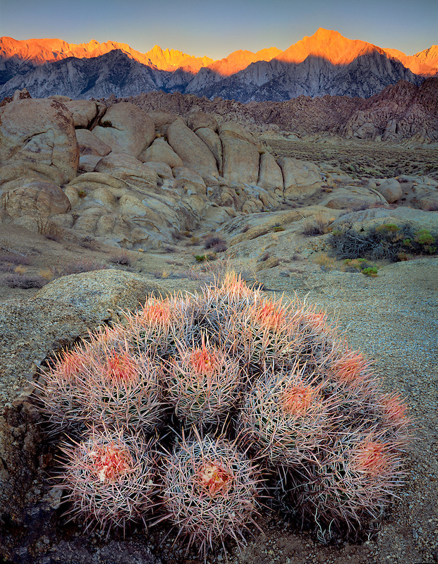 Barrel Cactus and Alabama Hills with Mt. Whitney, California