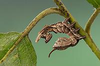 Buchen-Zahnspinner, Buchenspinner, Buchen-Spinner, Buchenzahnspinner, Raupe, Stauropus fagi, lobster moth, lobster prominent, caterpillar, Le bombyx du hêtre, Écureuil, Zahnspinner, Notodontidae, prominents