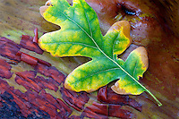 Oak leaf in fall color on madrone branch. Siskiyou National Forest