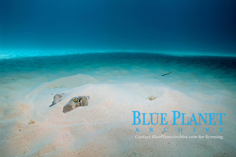 southern stingray, Dasyatis americana, buried in sand, Bahamas, Caribbean ( W. Atlantic )