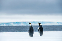 Snow Hill Island, Antarctica. Two adult Emperor penguins have traveled to the edge of the ice shelf to fish.