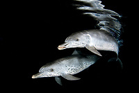 Spotted dolphins Stenella frontalis at night Atlantic Ocean Bahamas