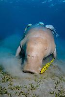 Dugong, Sea Cow, feeding on the shallow sea grass field, Gnathanodon Speciosus, Egypt, Red Sea, Indian Ocean