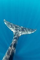 fluke of Bryde's whale, Balaenoptera edeni, Trincomalee, Eastern Province, Sri Lanka, Bay of Bengal, Indian Ocean