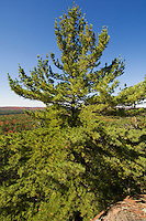 Eastern White Pine tree (Pinus strobus Linnaeus) along the Lookout Trail in Algonquin Provincial Park, Ontario, Canada.