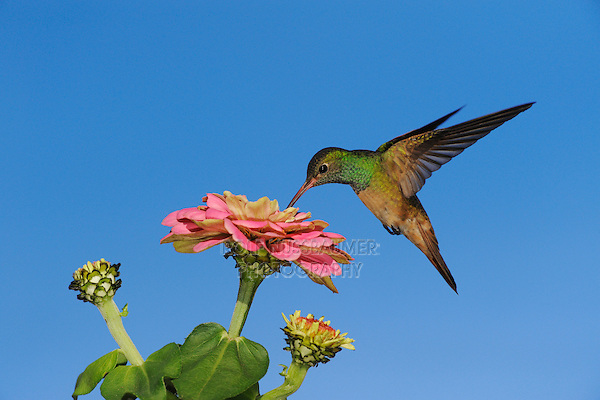 Buff-bellied Hummingbird (Amazilia yucatanenensis), adult in flight feeding on Zinnia, Sinton, Corpus Christi, Coastal Bend, Texas Coast, USA