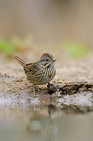 Adult Lincoln's Sparrow (Melospiza lincolnii) at desert water hole. Starr County, Texas. March.