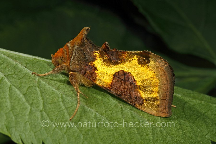 Messingeule, Messing-Eule, Diachrysia chrysitis, Plusia chrysitis, Phytometra chrysitis, Burnished brass, Eulenfalter, Noctuidae, noctuid moths, noctuid moth