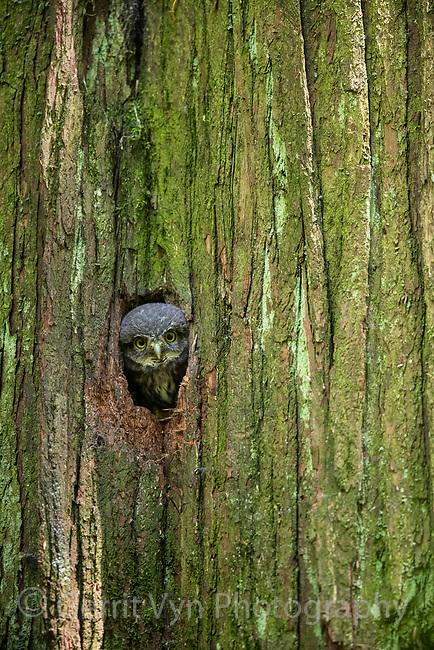 Northern Pygmy-Owl (Glaucidium gnoma) nestling moments before leaving the nest. Multnomah COunty, Oregon. May.