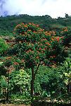 9788-CC African Tulip Tree, Spathodea campanulata, Bignoniaceae, specimen in bloom, at Waimea Valley, Oahu, Hawaii