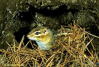 MA02-055z    Chipmunk - eastern coming out of hole in ground - Tamias striatus