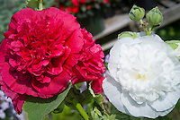 Alcea rosea Chater's Double Hollyhock mix, white and red colors together. Will come true from seed.