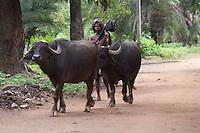 Muria buffalo shephard  in Bahigaon Chhattisgarth india