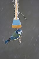 Blaumeise, an der Vogelfütterung, Fütterung im Winter bei Schnee, an Fettfutter in aufgehängtem und bunt bemaltem Blumentopf, selbstgemachtes Vogelfutter, Winterfütterung, Blau-Meise, Meise, Cyanistes caeruleus, Parus caeruleus, blue tit