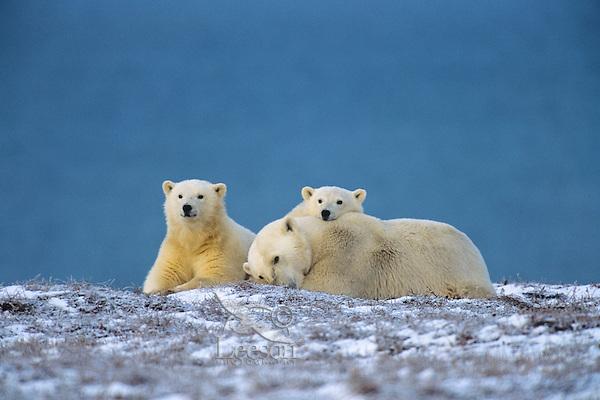 Polar Bears--sow with cubs--resting along the Beaufort Sea coast, Arctic National Wildlife Refuge, Alaska.  Oct.