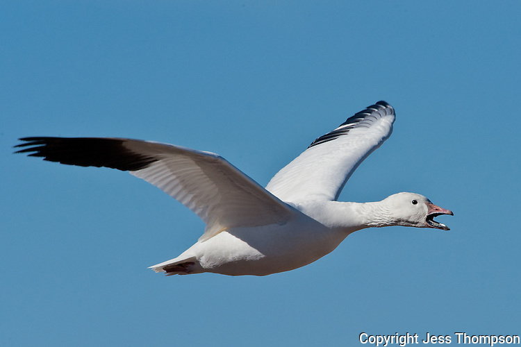 Snow Goose, Bosque del Apache NWR