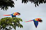 Scarlet Macaws (Ara macao) in flight. Osa Peninsula (near Corcovado National Park), Costa Rica, Central America.