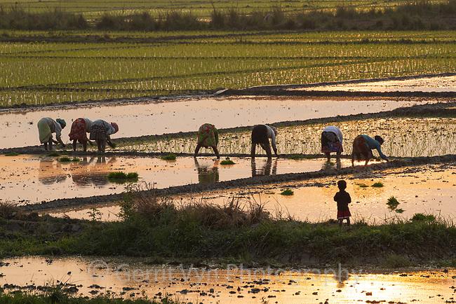 Women planting rice. Chengmari Gaon, India