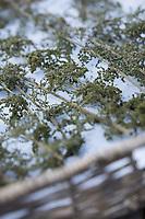 Brennnessel-Samen, Brennnesselsamen, Brennessel-Samen, Samen von Brennnesseln, Stängel mit Samen werden auf einem Tablett getrocknet, Trocknen, Kräuterernte, Brennnessel, Große Brennnessel, Brennessel, Urtica dioica, Stinging Nettle, common nettle, nettle, nettle leaf, seed, seeds, La grande ortie, ortie dioïque, ortie commune