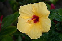 The yellow hibiscus (Hibiscus brackenridgei, Hawaiian name pua aloalois) is the state flower of Hawai'i; this was taken on Kauai.