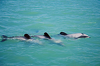 Hector's dolphins, Cephalorhynchus hectori, South Island, New Zealand