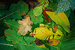 Two female Malaysian Leaf Insects disapppear on the forest floor, disguised as decomposing leaves, Sarawak, Malaysia