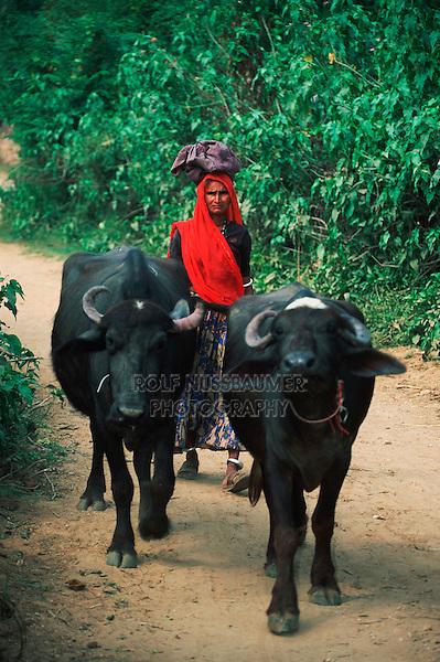 Domestic asian water buffalo (Bubalus bubalis) and Indian women carrying bag on head, Rajasthan, India