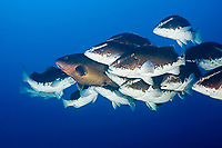 Nassau grouper, Epinephelus striatus, endangered species, spawning aggregation as sunset approaches, frantic males, in bicolor phase, pack around female, in normal brown color phase, trying to encourage her to release eggs, Lighthouse Reef Atoll, Belize, Caribbean Sea, Atlantic Ocean (2 of 6)