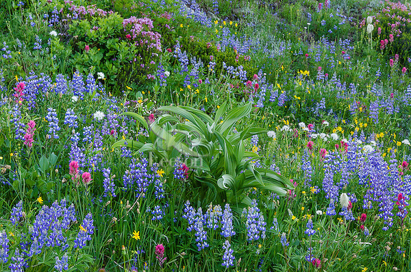 Wildflowers--lupine, arnica, paintbrush, valerian, heather and anemone or western pasqueflower and false hellebore (big green leaves)--in subalpine meadow, Mount Rainier National Park, WA.  Summer.