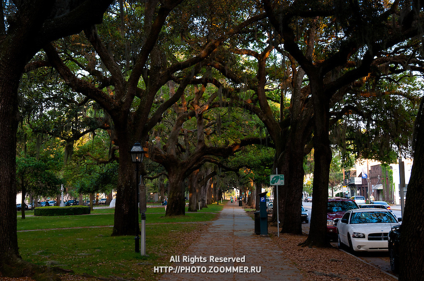 Canopy of live oak trees in Savannah, GA