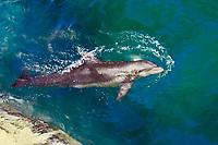 bottlenose dolphin jumping, Tursiops truncatus, Hawaii (c)
