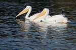 White pelicans, Bolsa Chica State Park.