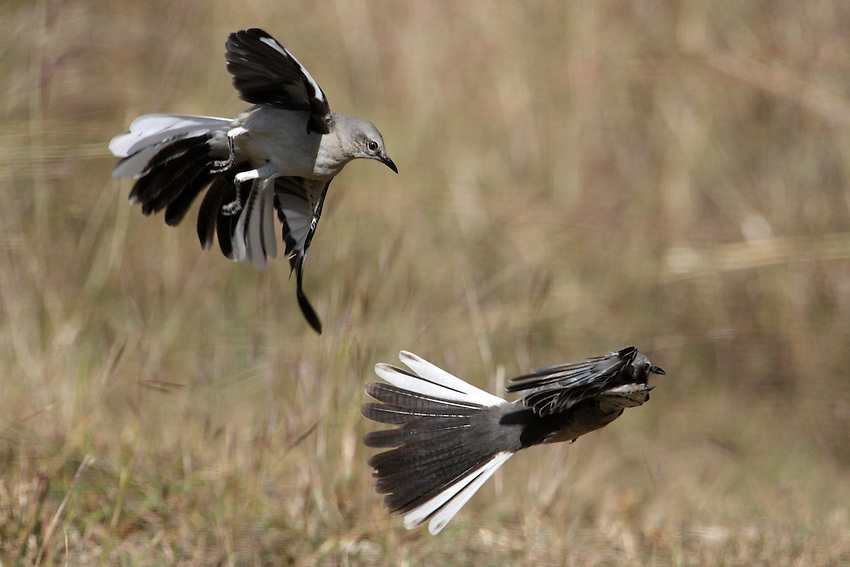Usually found alone or in pairs throughout the year, mockingbirds aggressively chase off intruders on their territory. Here one male chases another in defense of its territory..