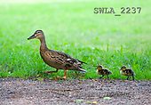 Carl, ANIMALS, wildlife, photos(SWLA2237,#A#)