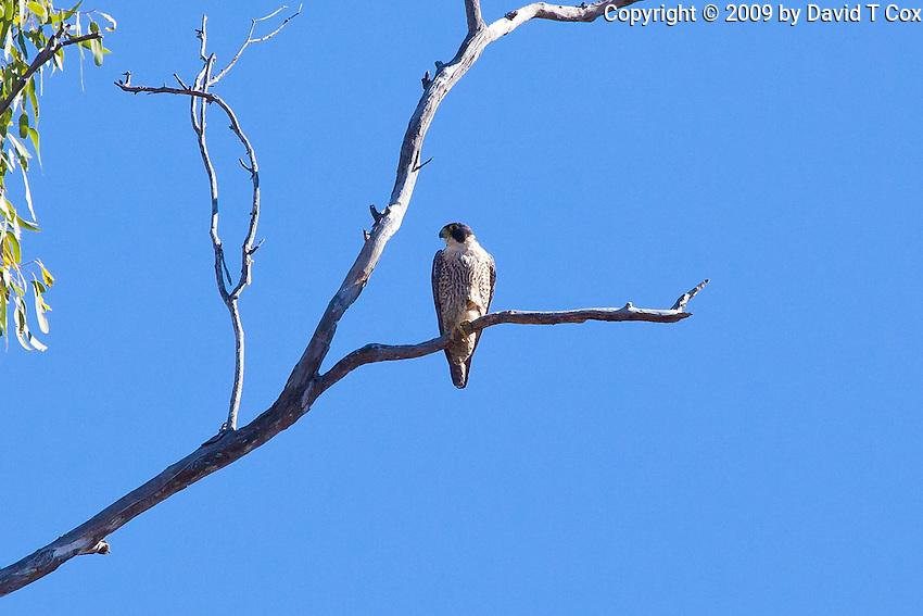 Peregrin Falcon immature, near Miriam Vale, Queensland, Australia