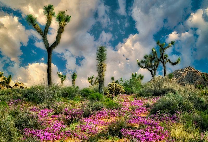 Joshua trees and sand verbena flowers. Joshua Tree National Park, California