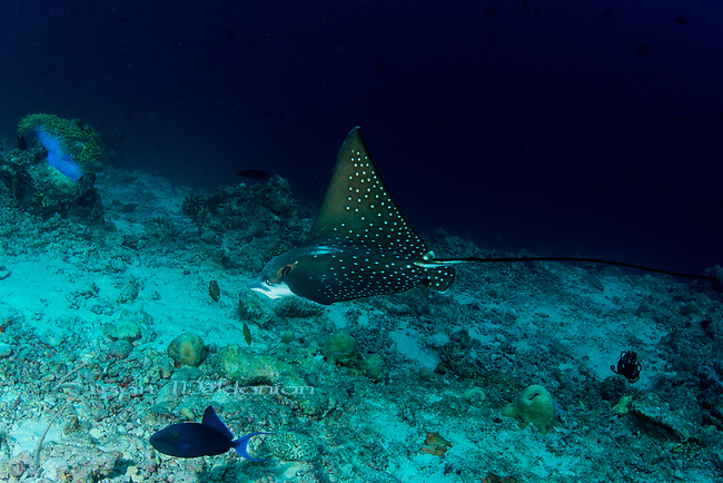 Spotted eagle ray and underwater photographer, diver Aetobatus narinari, Maldives