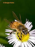 1B05-503z  Honeybee flying from flower, note 4 wings,  Apis mellifera