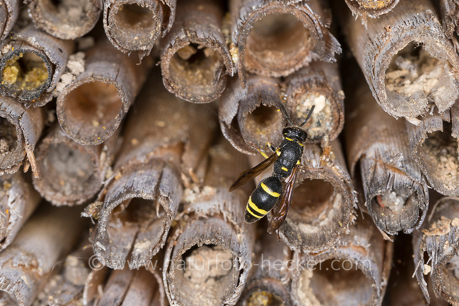 Lehmwespe, an hohlen Schilfhalmen an einer Insekten-Nisthilfe, Ancistrocerus trifasciatus, Ancistrocerus trimarginatus, Potter wasp, mason wasp, Solitäre Faltenwespen, Eumeninae, Potter wasps, mason wasps