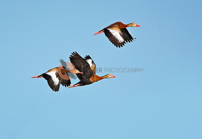 Three Black-Bellied Whistling DUcks in flight in Viera Wetlands, Florida
