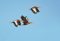 Three Black-Bellied Whistling DUcks in flight in Viera Wetlands, Florida