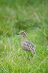 Double-striped Thick-knee (Burhinus bistriatus). Hato La Aurora Reserve, Los Llanos, Colombia.