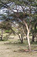Tanzania. Serengeti. Trees Stripped of Bark by Elephants.
