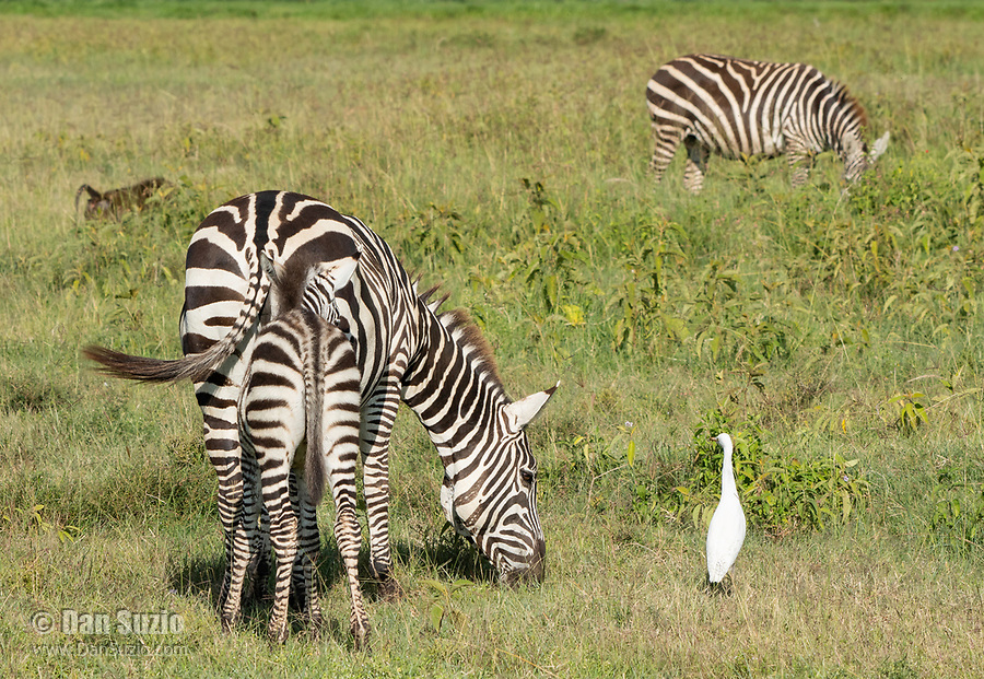 Adult and juvenile Grant's Zebras, Equus quagga boehmi, with Cattle Egret, Bubulcus ibis, in Lake Nakuru National Park, Kenya