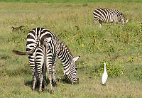 Adult and juvenile Grant's Zebras, Equus quagga boehmi, with Cattle Egret, Bubulcus ibis, in Lake Nakuru National Park, Kenya