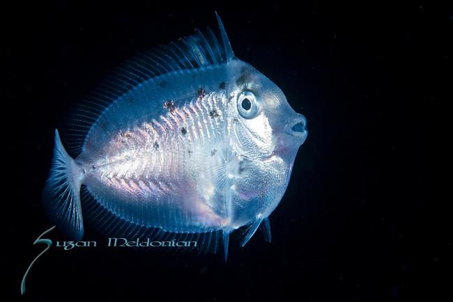 Naso lituratus juvenile, aka Lipstick Tang, Naso Tang, orangespine unicorn fish, Ambon
