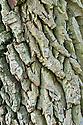 Trunk of Walter dogwood (Cornus walteri). It is well known for the alligator-like bark on older trees.