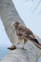 Bird eating coconut on palm tree, Comarca De Kuna Yala, San Blas Islands, Panama